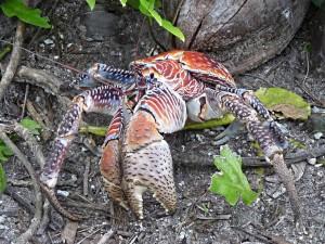 coconut, crab