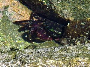 crabe, océan, marée, piscines, jolla, crique