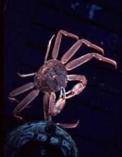 crab, tanner, chionoecetes, angulatus