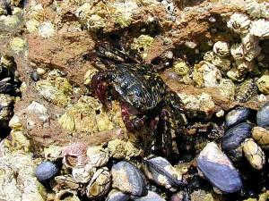crabes, barnicles, océan, tidepools, mer