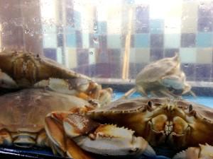 dungeness, crabs, metacarcinus, magister