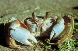 ghost, crab