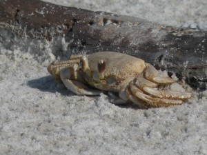 ghost, crab, sand
