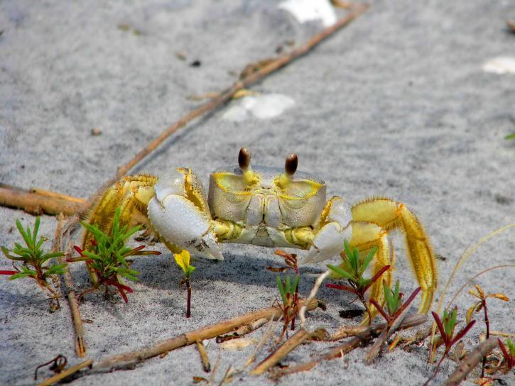 ghost, crab, ocypode