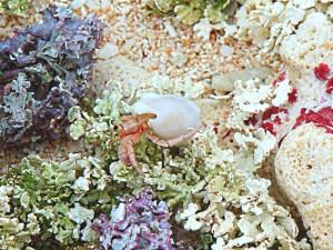 hermit, crab, scuttling, corals, underwater, scenics, landscape