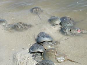 arthropodes, horseshue, crabes, eau