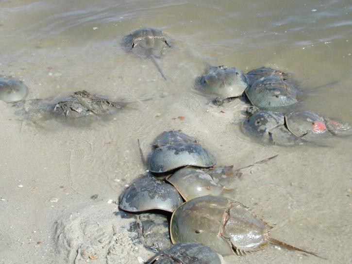 arthropods, horseshue, crabs, water