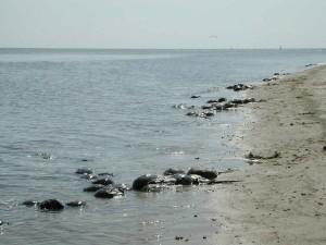 fer à cheval, crabes, plage, limule, polpyhemus