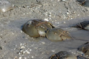 pair, mating, horseshoe, crabs, limus, polyphemus