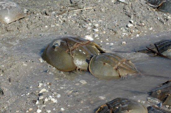 pair, mating, horseshoe, crabs, limus polyphemus
