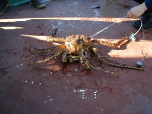 king, crab, snagged, released