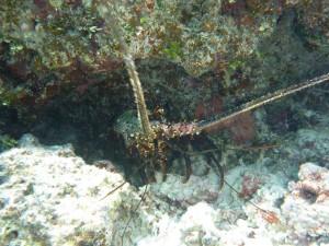 langosta, bajo el agua
