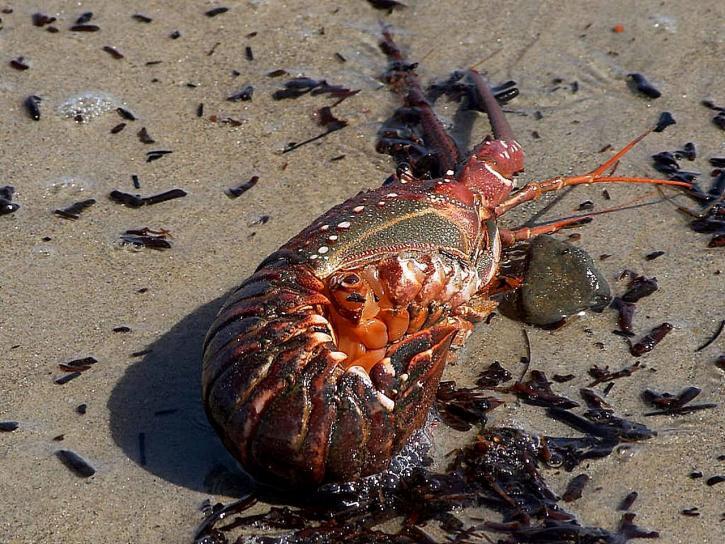 épineux, homard, lavé, pacifique, plage