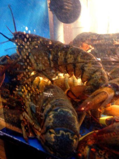 live American lobsters, homarus Americanus, northern maine, lobsters