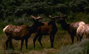 American, mountain, deer