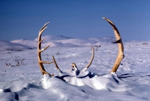 veľký, caribou, jeleň, parohy, sneh, zima