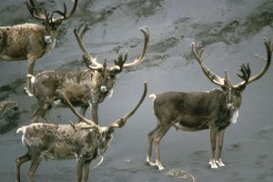 Caribou, býkov, velvet