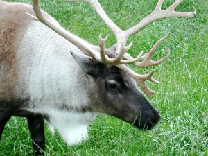 Caribou, up-close, fej