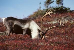caribou, feeding, field