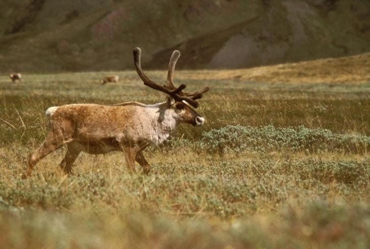 caribou, free, picture