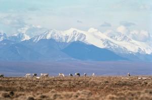 caribou, grazing, fields, rangifer, tarandus
