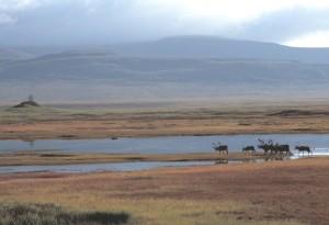 caribou, troupeau