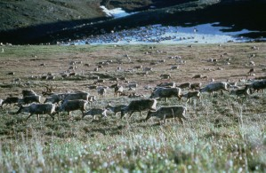 caribou, reindeers, fields, rangifer, tarandus