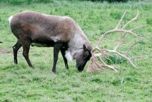 caribou, bois