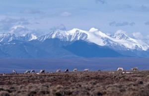 caribou, ruisseaux, gamme, montagnes, fond