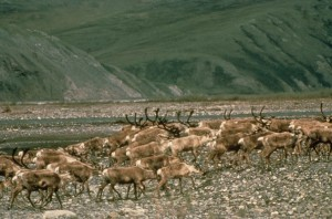 herd, caribou, animals, grazing