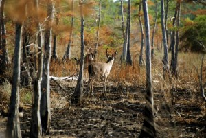 columbian, white tailed, deer, forest