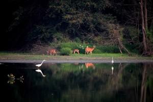 deer, egrets, cervus, elaphus, egretta thula