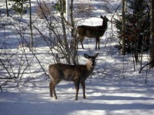 deer, snow, odocoileus virginianus