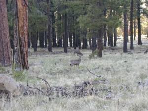 cerfs, transition, forêts, Fransisco, pics
