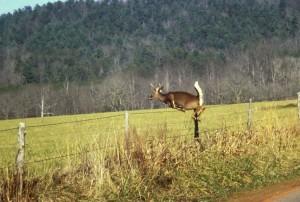 cerfs, des sauts, clôture