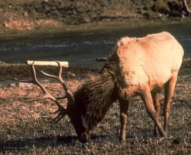 deer, male, big, horns, grazing, grass