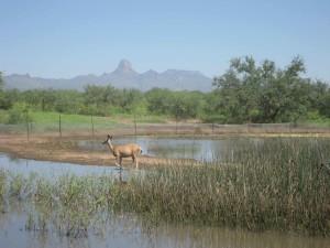 jeleň, prechádzky, vodné, Buenos Aires, národný park