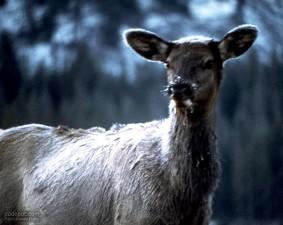 European, deer, female, cervus, elaphus, hippelaphus