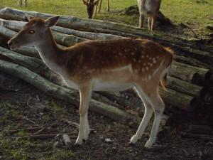 barbecho, ciervos, animales, femenino, gama