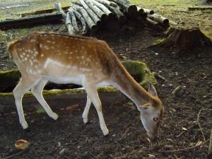 fallow, deer, dama, dama