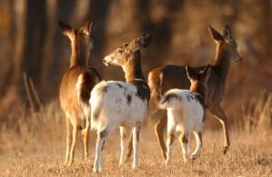 herd, piebald, deer, mammals