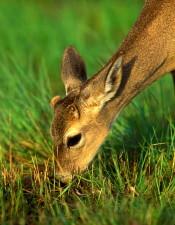key, deer, grazing, odocoileus, virginian, clavium