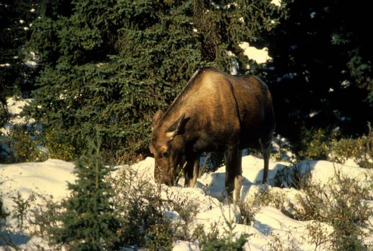 alces, alces, moose, animal