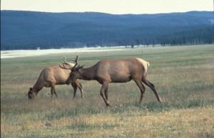 American, elk, cervus, elaphus, wapiti, deer