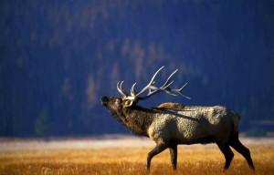 bika, jávorszarvas, bugling, a gibbon, a rét, a Yellowstone, national park