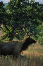bull, elk, forested, area, Wichita, mountains, wildlife, refuge