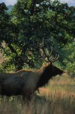 taureau, élans, forêts, région, Wichita, montagnes, faune, refuge