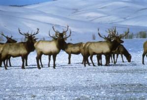 bull, elks, snow