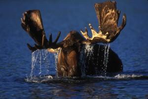 bika, jávorszarvas, böngészés, alaszkai, tundra, tó
