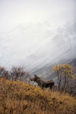 cow, moose, stands, hillside